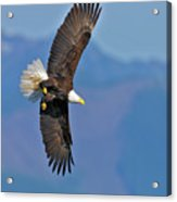 American Blad Eagle On The Wing Acrylic Print