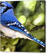 Blue Jay Bokeh Acrylic Print