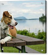 American Breed On Table Acrylic Print