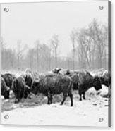 American Buffalo #2 Acrylic Print
