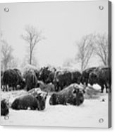 American Buffalo #3 Acrylic Print