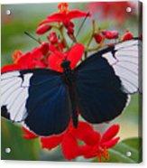 American Butterfly Acrylic Print