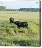 American Cattle Acrylic Print