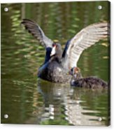 American Coot Adult And Juvenile Acrylic Print