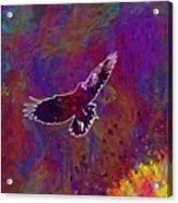 American Crow Flying Ave Fauna  Acrylic Print