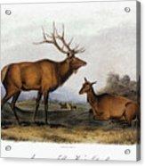 American Elk, 1846 Acrylic Print