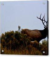 American Elk Acrylic Print by Carrie Putz