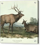 American Elk Acrylic Print