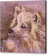 American Eskimo Dog Acrylic Print