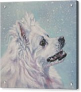 American Eskimo Dog In Snow Acrylic Print