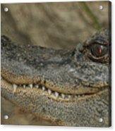 American Gator Acrylic Print