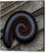 American Giant Millipede Acrylic Print by April Wietrecki Green