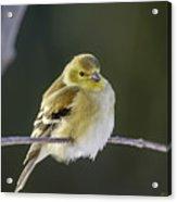 American Gold Finch Acrylic Print