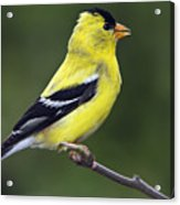 American Golden Finch Acrylic Print