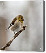 American Golden Finch Winter Plumage 1 Acrylic Print