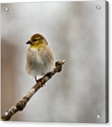 American Golden Finch Winter Plumage 4 Acrylic Print
