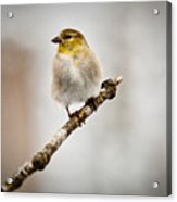 American Golden Finch Winter Plumage 6 Acrylic Print