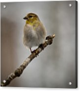 American Golden Finch Winter Plumage Acrylic Print
