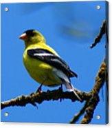 American Goldfinch 1 Acrylic Print