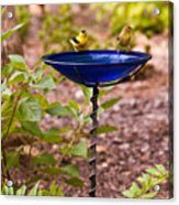 American Goldfinch At Water Bowl Acrylic Print