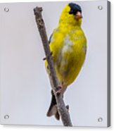 American Goldfinch Front Acrylic Print