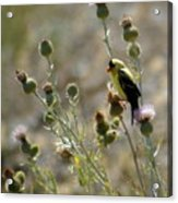 American Goldfinch Having Lunch On Bakery Hill 2 Acrylic Print
