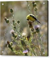 American Goldfinch Having Lunch On Bakery Hill Acrylic Print