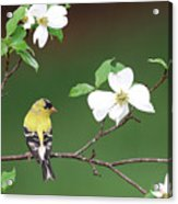 American Goldfinch In Dogwood Acrylic Print