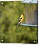 American Goldfinch No Food  Acrylic Print