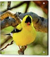 American Goldfinch On Aspen Acrylic Print