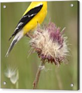 American Goldfinch On Summer Thistle Acrylic Print