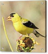 American Goldfinch On Sunflower Acrylic Print