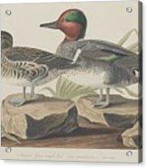 American Green-winged Teal Acrylic Print