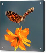 American Lady Butterfly Lands On Cosmos Flower Acrylic Print