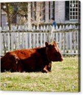 American Milking Devon In Spring Acrylic Print