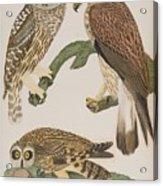 American Owl Acrylic Print