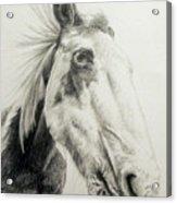 American Paint Horse Acrylic Print