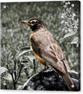American Red Robin Acrylic Print