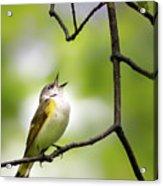 American Redstart Female 2 Acrylic Print