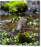 American Robin In Garden Springs Creek Acrylic Print
