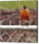 American Robin  In Spring          March            Indiana Acrylic Print