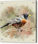 American Robin - Watercolor Art Acrylic Print