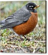 American Robin With Muddy Beak Acrylic Print