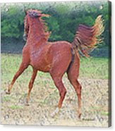 American Saddlebred Filly Acrylic Print