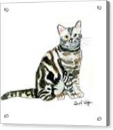 American Short Hair Cat Acrylic Print