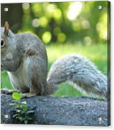American Squirrel Acrylic Print