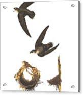 American Swift Acrylic Print