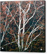 American Sycamore # 2 Acrylic Print