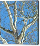 American Sycamore - Platanus Occidentalis Acrylic Print