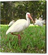 American White Ibis Birds In Orlando, Florida Acrylic Print